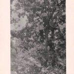 1911 Logan, WV Chestnut Tree at Ward Rock.