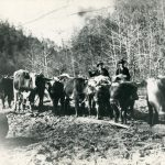 1906 Logging Crew with Ox Teams at Rum Creek, W. Va.